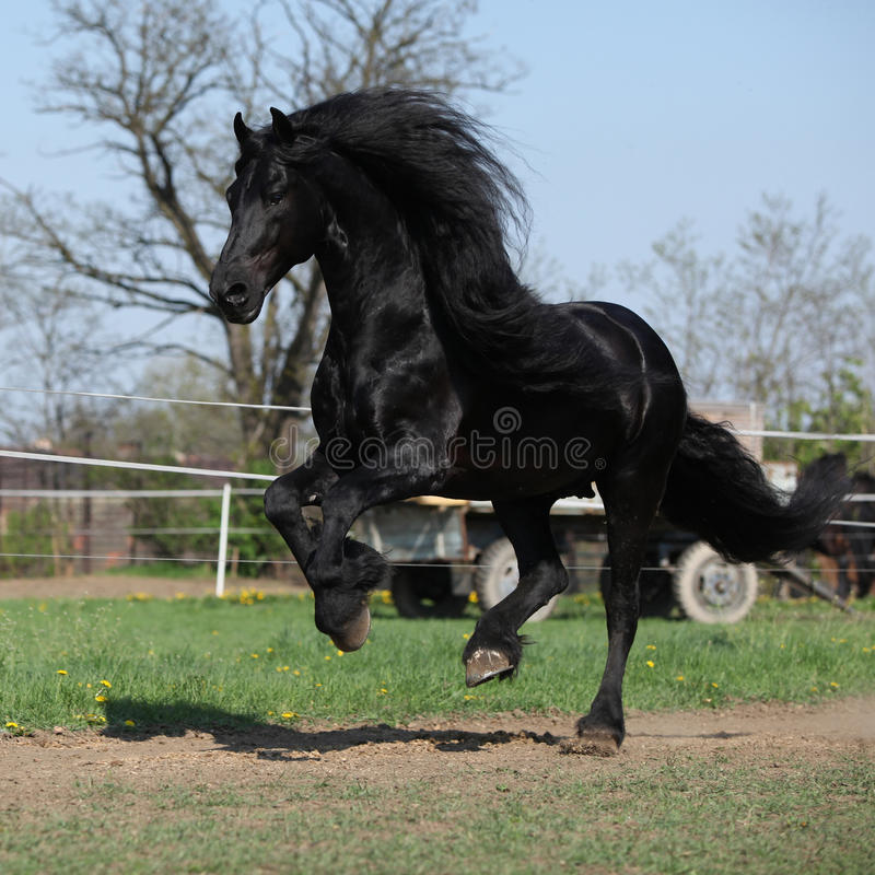 Gorgeous friesian stallion with long mane running on pasturage. In spring stock images