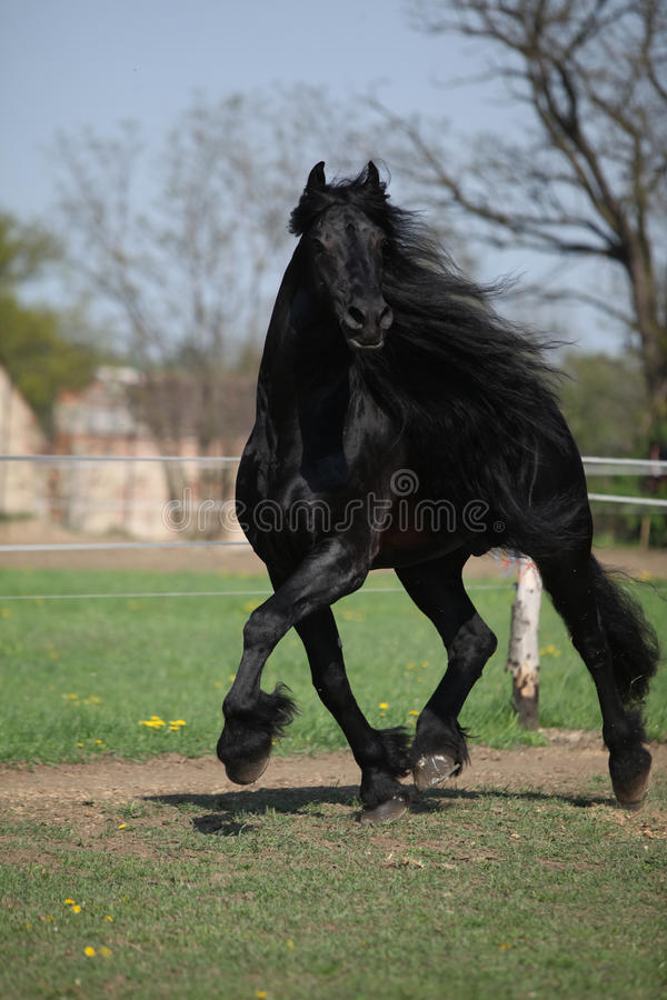 Gorgeous friesian stallion with long mane running on pasturage. In spring royalty free stock photos
