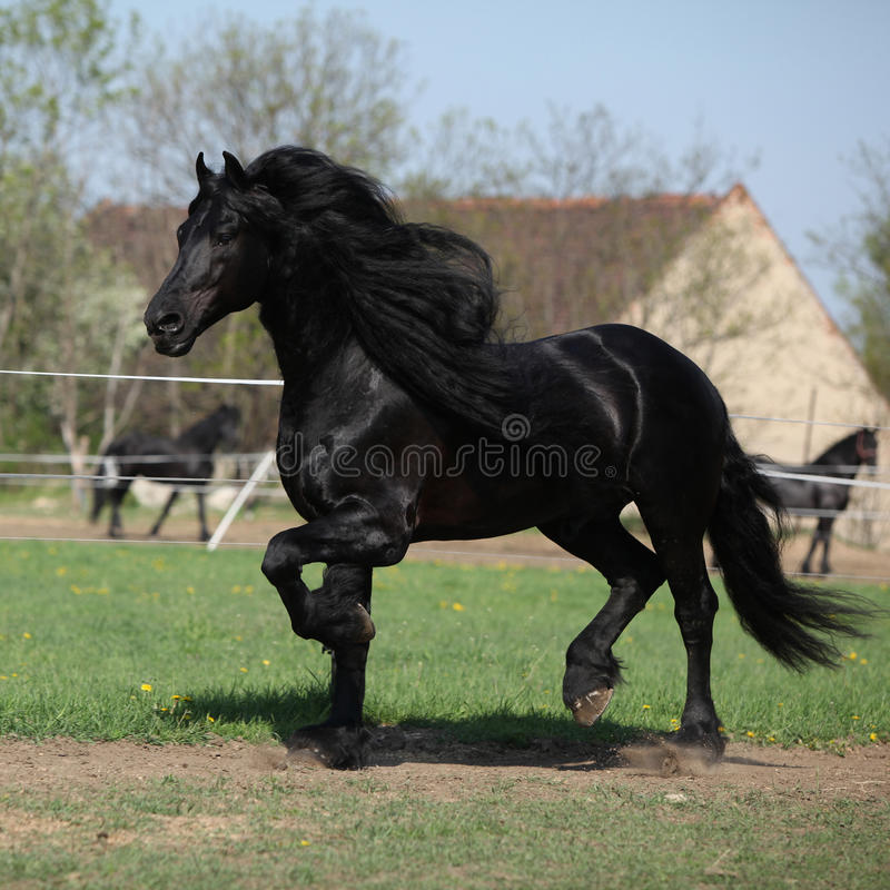 Gorgeous friesian stallion with long mane running on pasturage. In spring stock image