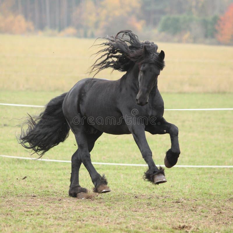 Gorgeous friesian stallion running stock photography