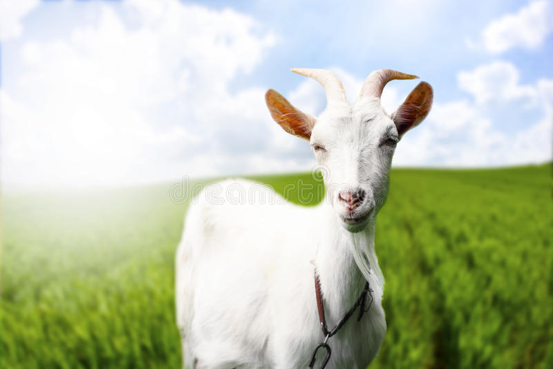 Gorgeous goat on field stock photo