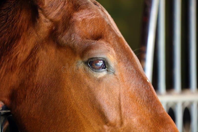 Gorgeous horse eye andalusian spanish stallion, amazing arabian horse. Gorgeous brown andalusian spanish stallion, amazing arabian horse canter stock photos