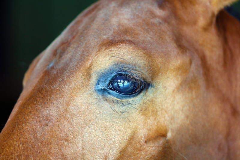 Gorgeous horse eye andalusian spanish stallion, amazing arabian horse. Gorgeous brown andalusian spanish stallion, amazing arabian horse canter royalty free stock photo