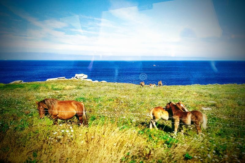 Gorgeous horses. Cliff, sky, travel, vacation, rest, coast, coastline, grads, grass, water, ocean, sea, view, animals, blue, landscape, nature royalty free stock photos