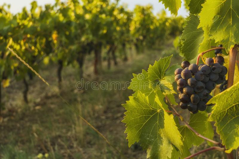 Gorgeous huge cluster of ripe Sangiovese grapes on the vine in Chianti,Tuscany stock photos