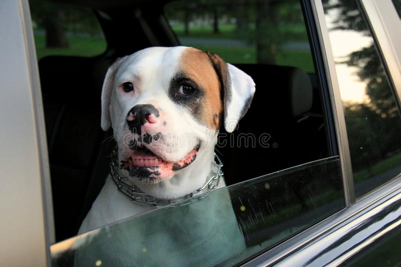 Gorgeous image of American Bulldog,relaxing in car after a nice run in the woods royalty free stock images