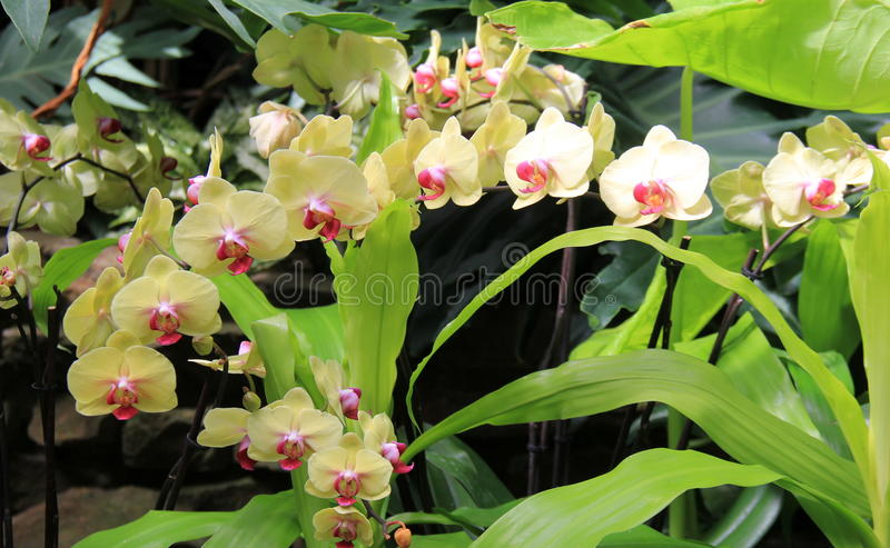 Gorgeous image of exotic orchids in warm colors of yellow and pink. Pretty tropical garden with curving branch of exotic orchids in warm, buttery colors of stock photos