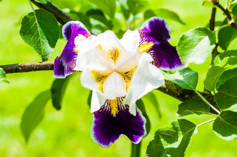 Gorgeous Iris flower white purple violet blooming bud in front of apple tree branch. Iris is a genus of flowering plants with showy flowers royalty free stock images