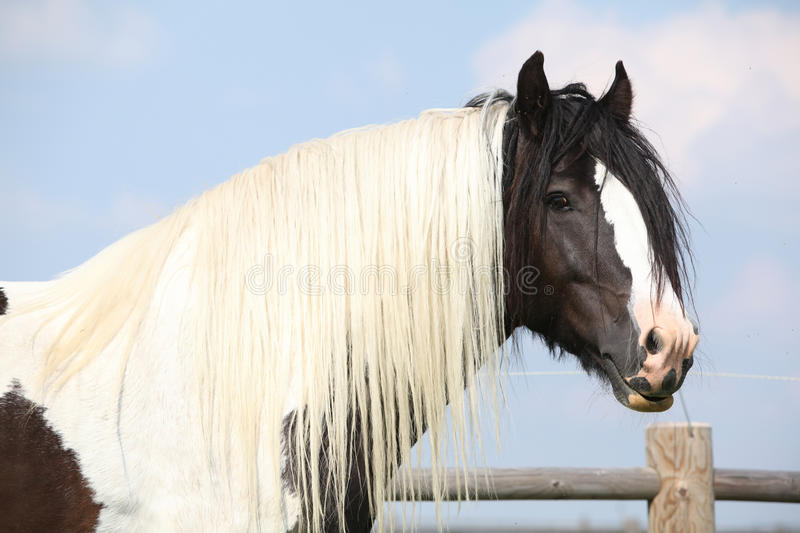 Gorgeous irish cob stallion with long mane. Gorgeous skewbald irish cob stallion, black and white colors, with long mane standing on pasturage stock images