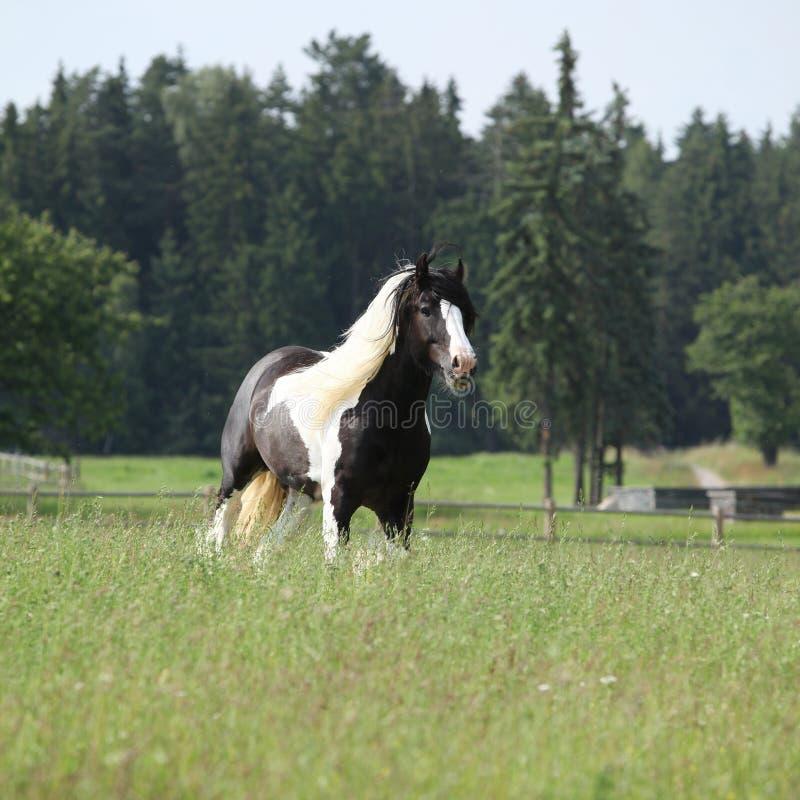 Gorgeous irish cob stallion running. On pasturage royalty free stock photography
