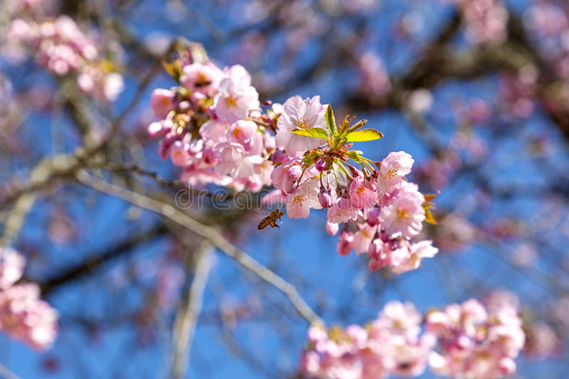 A gorgeous Japanese flowering cherry stock photo