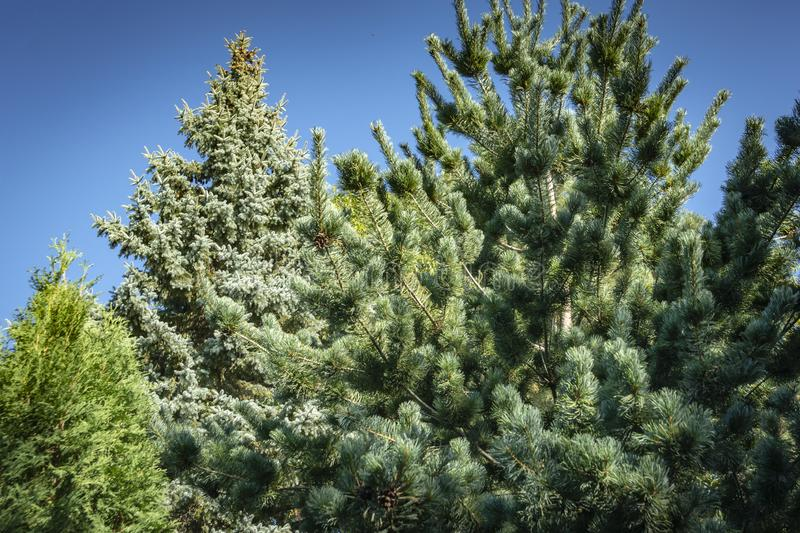 Gorgeous Japanese pine Pinus parviflora Glauca on the right. Blue spruce Picea pungens in the background. stock images