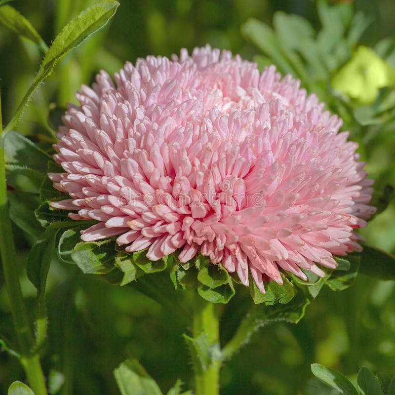 Gorgeous large pink flower Astra stock photos