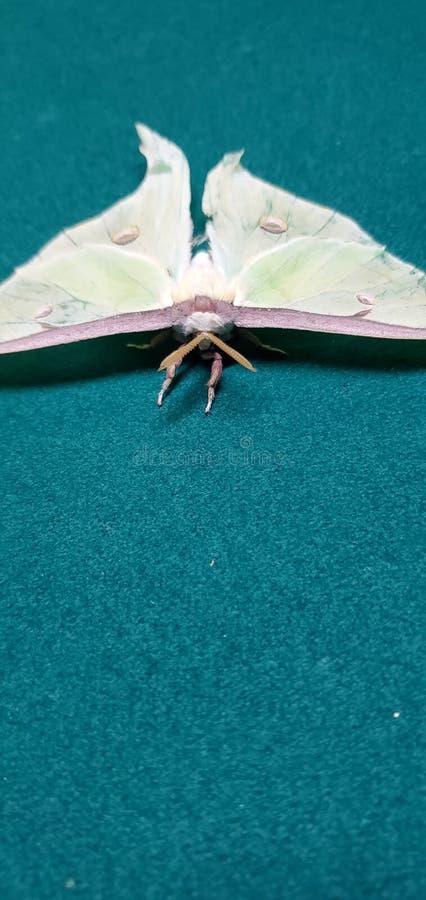 Gorgeous Luna Moth immagine stock