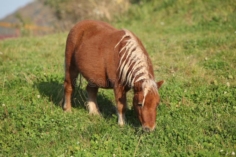 Gorgeous minishetland pony in autumn. Gorgeous minishetland pony in freedom in autumn stock photo