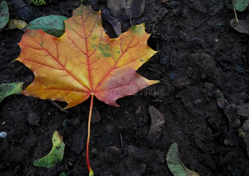Gorgeous multicolored maple leaf newly fallen on the ground in the autumn royalty free stock image