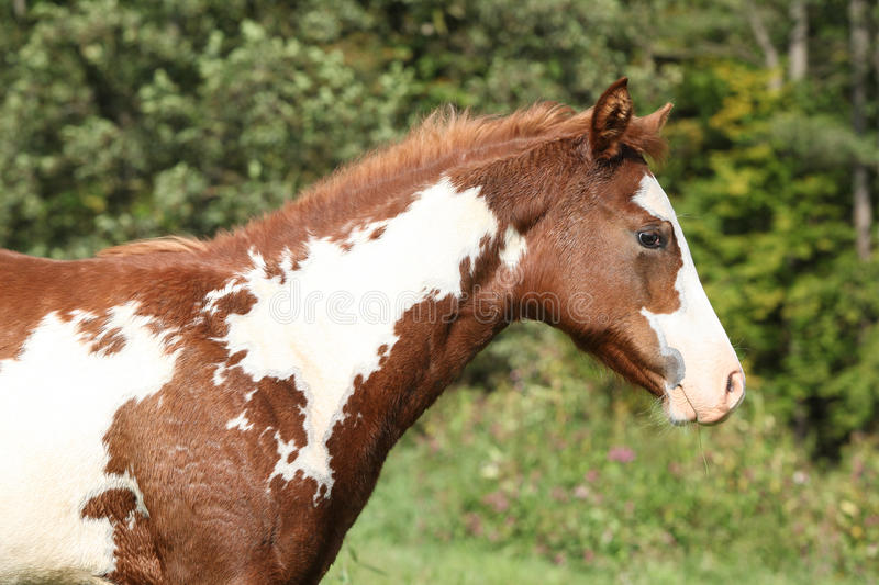 Gorgeous paint horse foal in freedom royalty free stock image