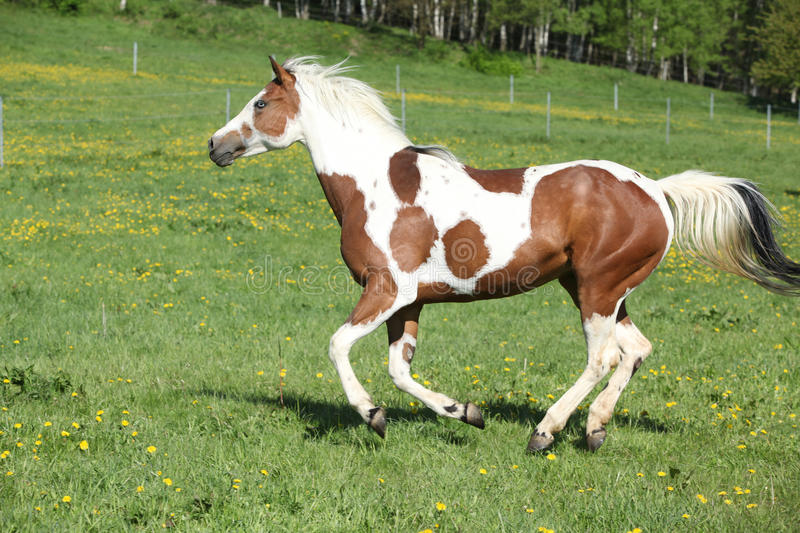 Gorgeous paint horse mare running on pasturage. Gorgeous paint horse mare running on springs pasturage stock images