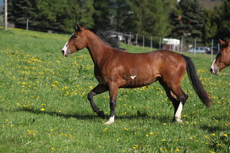 Gorgeous paint horse mare running on pasturage. Gorgeous paint horse mare running on springs pasturage royalty free stock photo