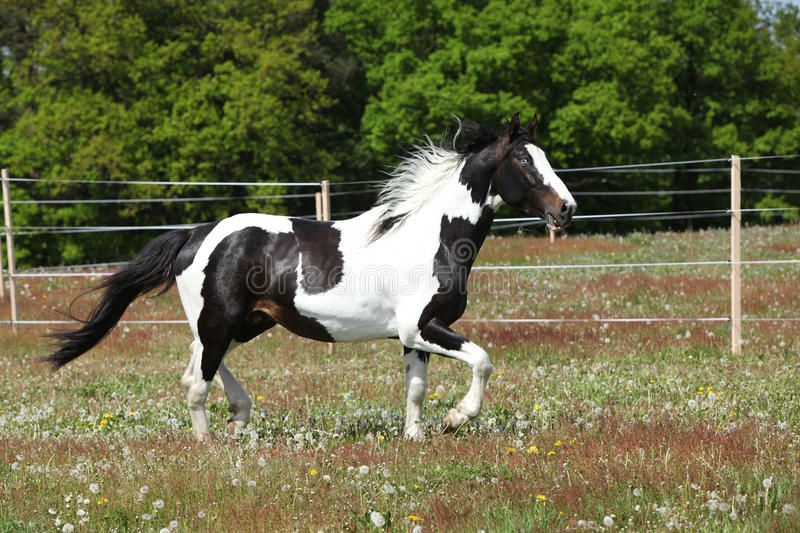 Gorgeous paint horse running on flowered pasturage. Gorgeous paint horse running on flowered spring pasturage stock photography