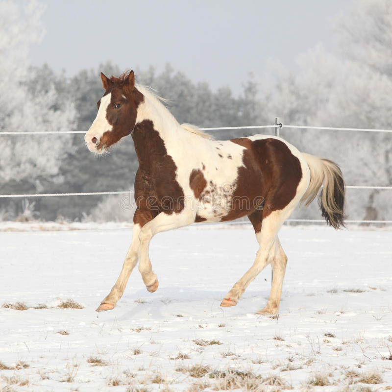 Gorgeous paint horse stallion on winter pasturage royalty free stock images