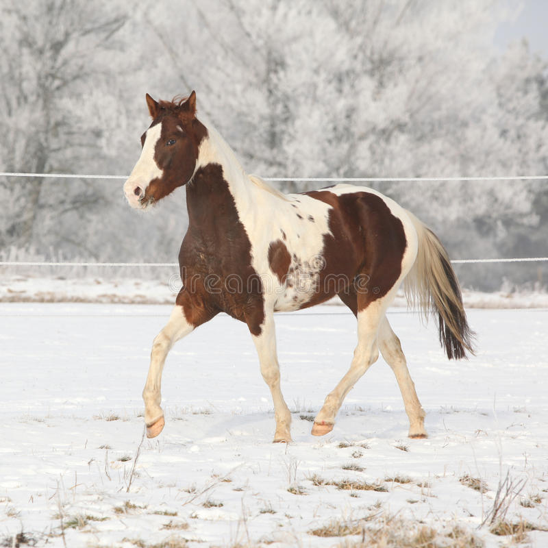 Gorgeous paint horse stallion on winter pasturage royalty free stock image