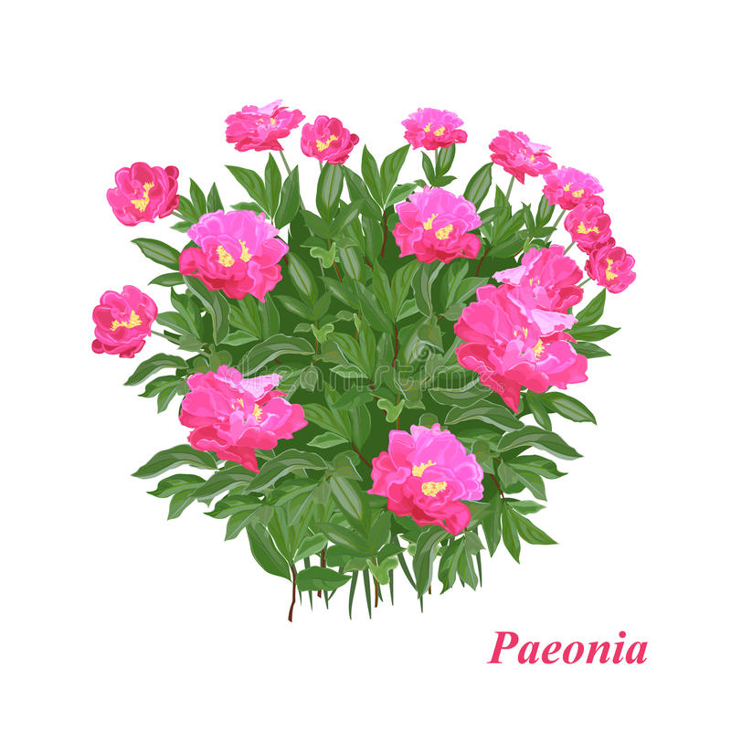 Download Gorgeous peony stock vector. Image of decor, paper, beauty - 24492131