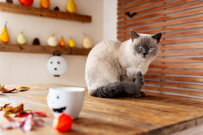 Gorgeous pet cat sitting on table in halloween theme decorated living room. Lifestyle Halloween holiday family house interior. Gorgeous pet cat sitting on table royalty free stock photography
