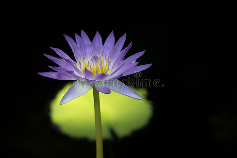 Gorgeous Photo of Purple Water Lily Flower with Yellow Stamens and Bright Green Leaf Against Dark Water stock photography