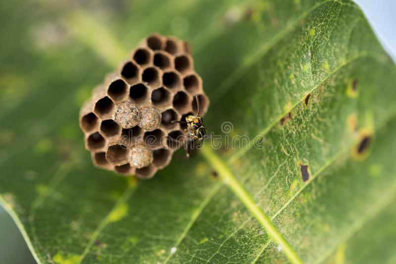Gorgeous picture of a wasp nast on the back of a leaf. Macro photography. Close-up picture. Gorgeous picture of a wasp nast on the back of a leaf. Close-up stock photos