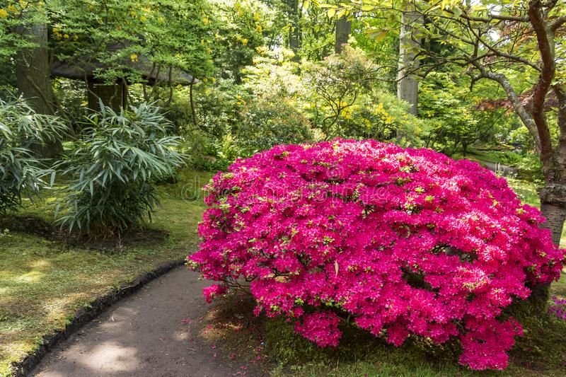 Gorgeous pink azalea in the Japanese garden in the Hague, Netherlands royalty free stock photo