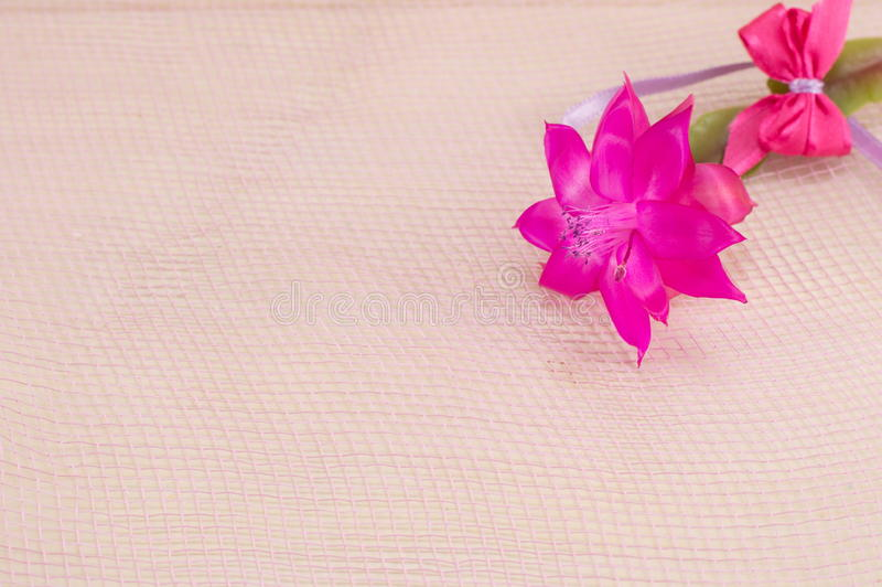 Gorgeous pink cactus flower stock photography