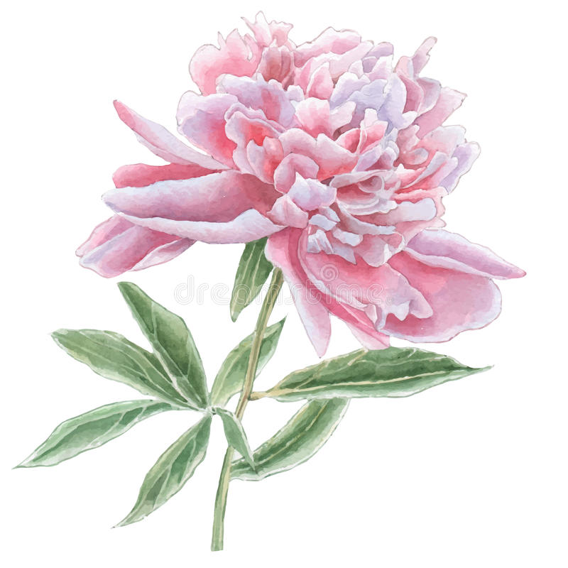 Gorgeous pink peony. vector illustration