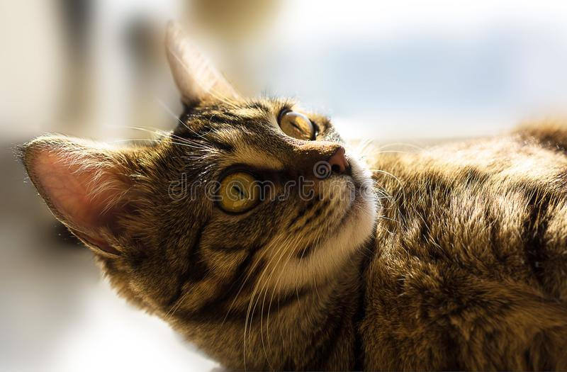Gorgeous portrait of cat with yellow eyes stock photography