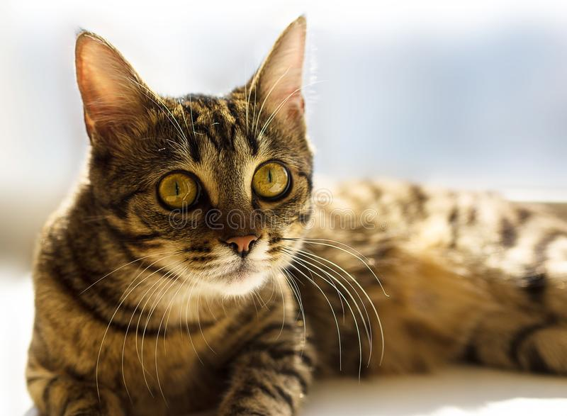 Gorgeous portrait of cat with yellow eyes royalty free stock photo