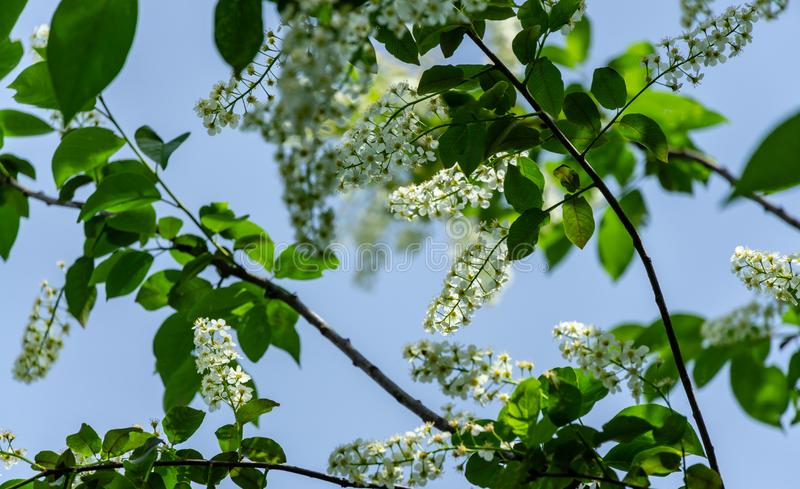 Gorgeous Prunus padus `Siberian beauty` blossom on the background of bright blue sky in the spring garden. Blooming bird cherry. Hackberry, hagberry, or Mayday stock images