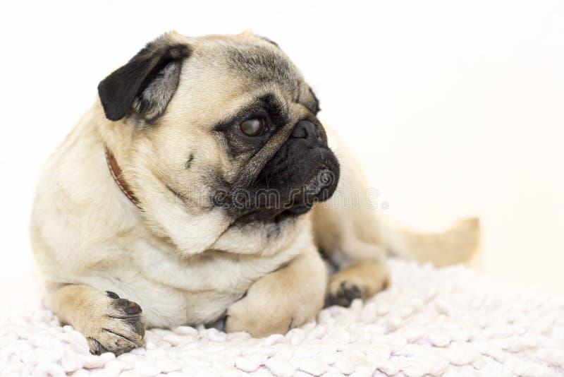 Gorgeous pug stock image
