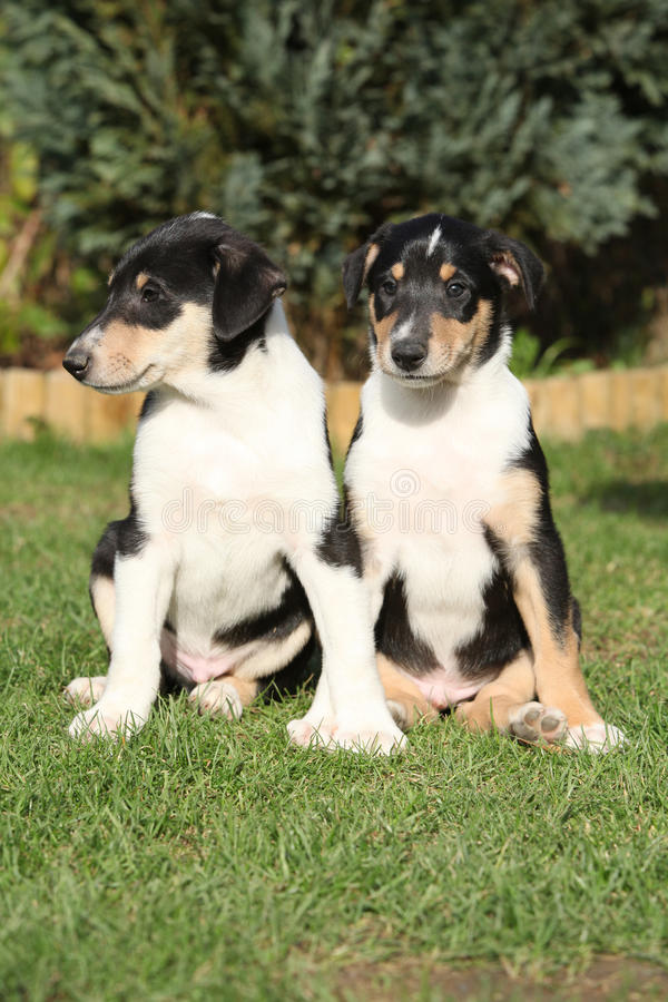 Gorgeous puppies of Collie Smooth in the garden. In spring stock image