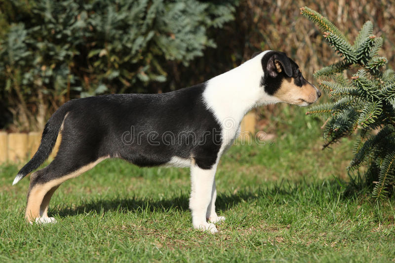 Gorgeous puppy of Collie Smooth in the garden. In spring stock photo