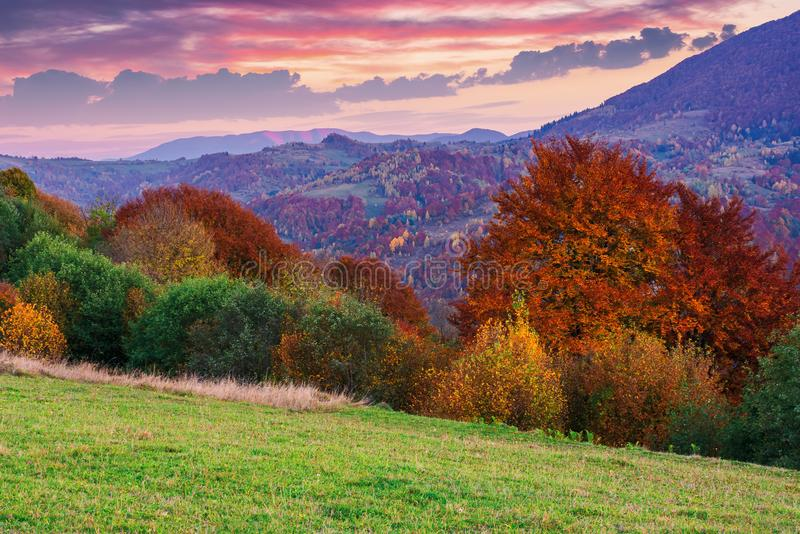 Gorgeous purple dusk scenery of countryside. Trees in fall colors. dominant red color of foliage. clouds on the sky above the distant ridge. green grass in the royalty free stock photo