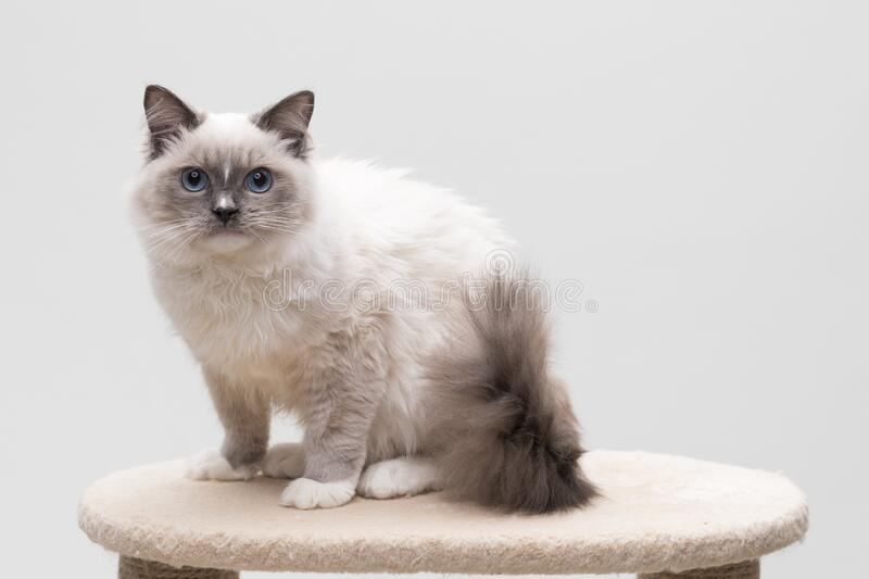 Gorgeous ragdoll cat sitting on a climbing frame. Looking straight at you. Studio shot. Solid background royalty free stock images