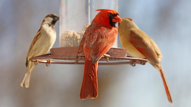 Gorgeous Couple of Red northern cardinal and sparrow colorful bird eating seeds from a bird seed feeder during summer in Michigan. Gorgeous Red northern cardinal royalty free stock images