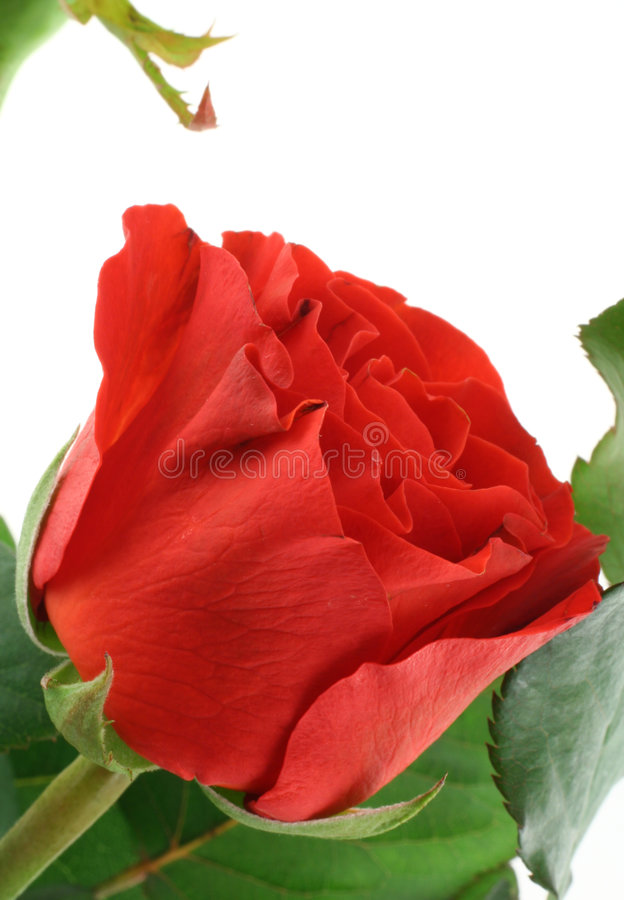Gorgeous red rose on white royalty free stock image