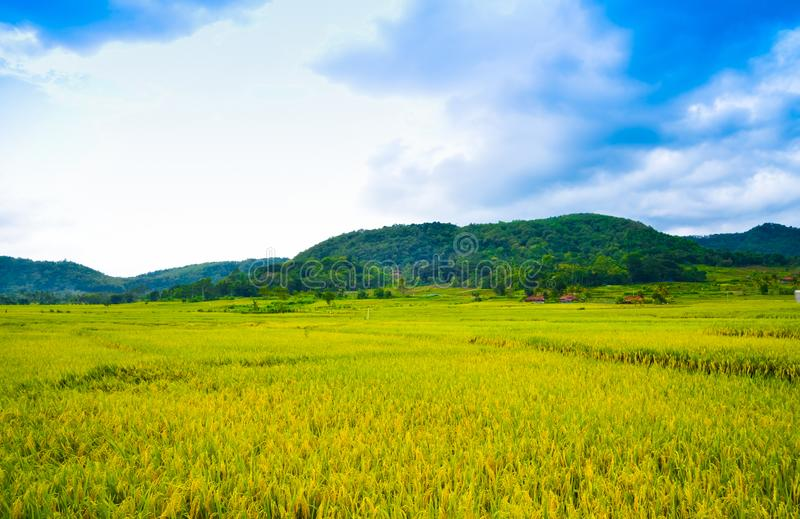 Lush green rice field rain forest tropical jungle in South Eeast Asian morning sunrise royalty free stock photo