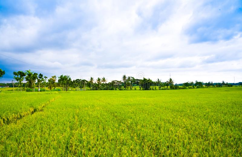 Lush green rice terrace field rain forest tropical jungle view in South Eeast Asian morning sunrise stock photos