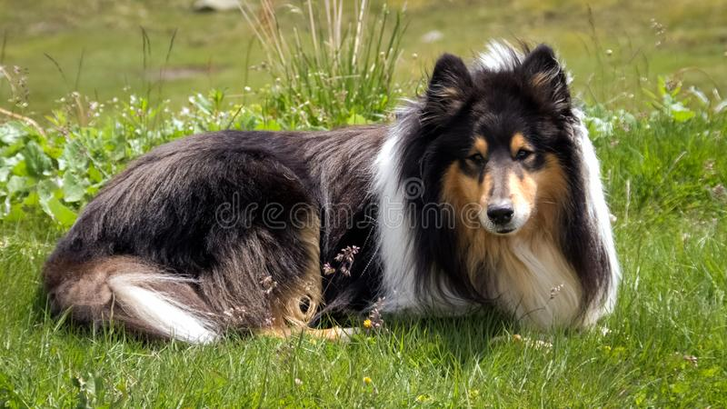 Gorgeous Scottisch or Scotch, Rough Collie stock photography