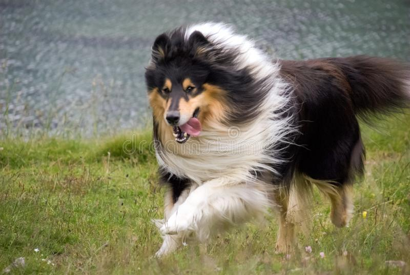 Gorgeous Scottisch or Scotch, Rough Collie at play stock photography
