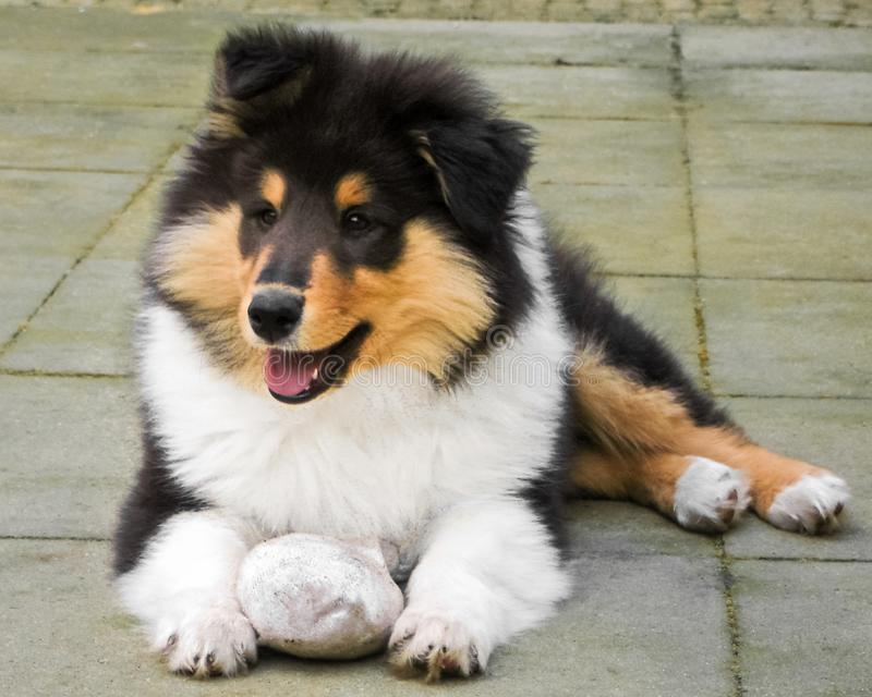 Gorgeous Scottisch or Scotch, Rough Collie puppy outside stock photography