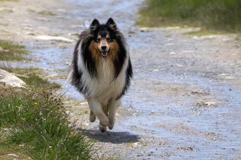Gorgeous Scottisch or Scotch, Rough Collie walking on a path royalty free stock photography
