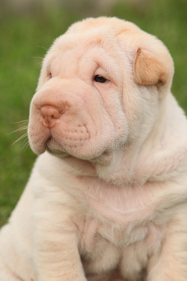 Download Gorgeous Shar Pei Puppy Sitting Stock Image - Image: 34247885